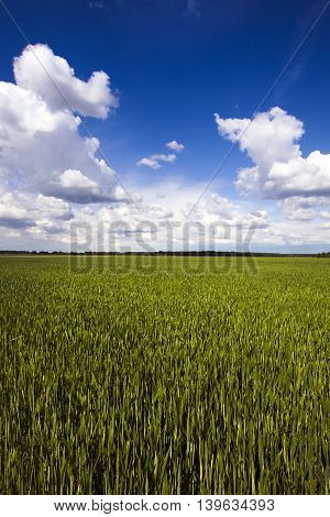 Agricultural field on which wheat grows young. On the edge of the field is growing forest.