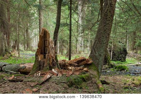 Springtime wetland stand of Bialowieza Forest with broken alder tree in foreground, Bialowieza Forest, Poland, Europe