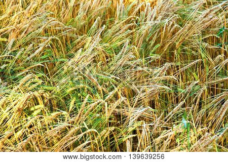Golden Cornfields In Detail