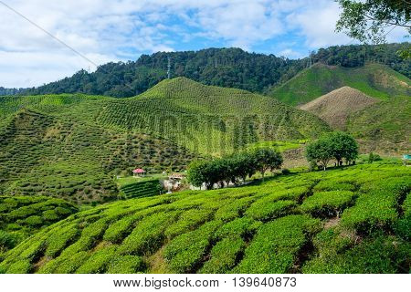 Valley view of tea plantations with blue sky from Cameron Highlands Malaysia.