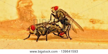 Two flies busy copulating during rainy season