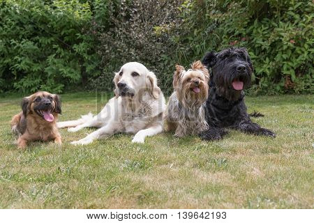 Crossbreed dog Giant Black Schnauzer Yorkshire Terrier and Golden Retriever dogs are lying on the lawn.