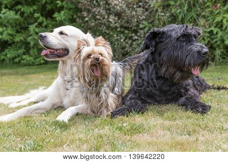 Giant Black Schnauzer Yorkshire Terrier and Golden Retriever dogs are lying on the lawn
