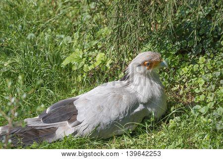 Secretary Bird is sitting in the grass.