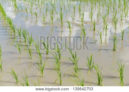 New plant on paddy fields