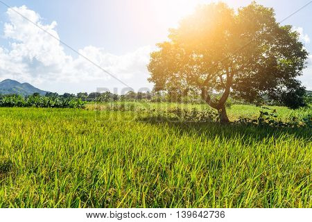 Rice field and tree with sun flare