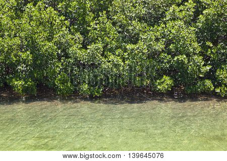 Beautiful  Mangroves In The Keys