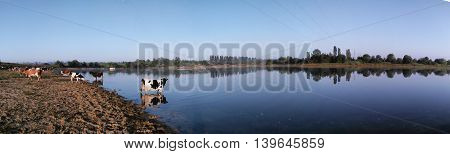 Panorama morning watering cattle in Greater Europe