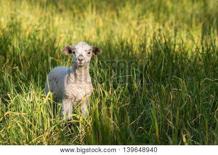 closeup of curious newborn lamb standing on field
