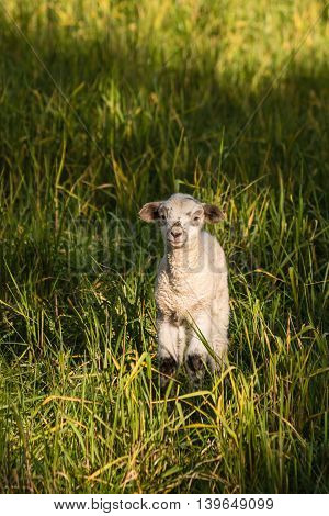 closeup of newborn lamb basking on green meadow
