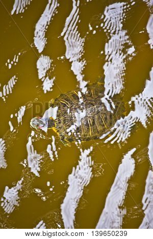 Head Of Turtle In The Water Protection Area In The Outer Banks