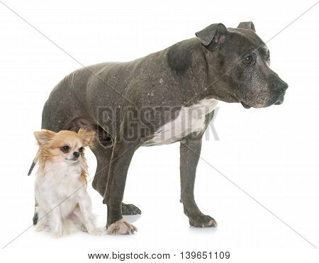 old pitbull and chihuahua in front of white background