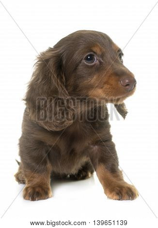 long hair dachshund in front of white background
