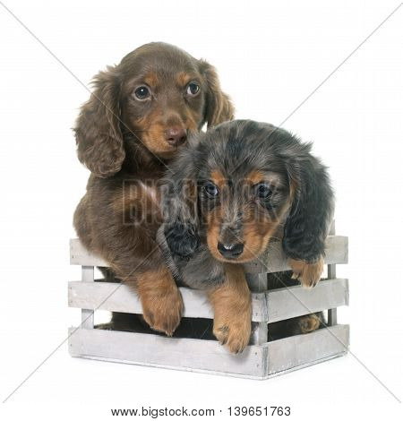 puppies dachshund in front of white background