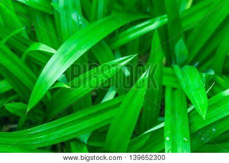 Pandanus leaf Asian aroma herb green nature background