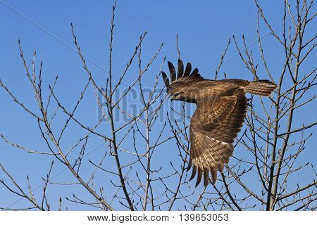 bird of prey in flight, flying among the thorns, opened wing buzzard