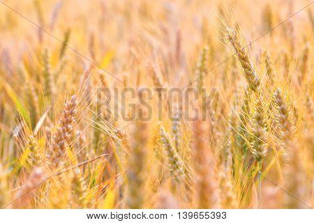Corn Field In Detail