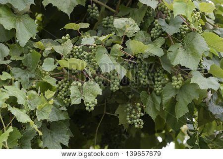 Grape And Vineyard After Rain
