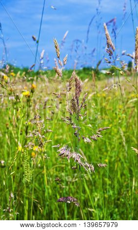 Meadow With Fresh Green Grass And Wild Flowers