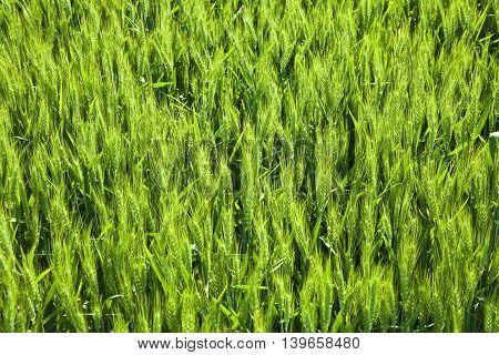 Spicka Of Corn