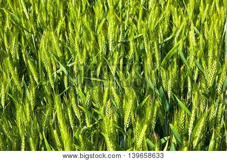 detail of beautiful green corn in field gives a harmonic background