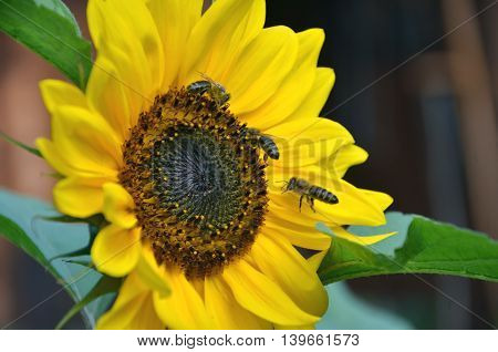 Honey bee flies on sunflower in bloom collect flower nectar and pollen in sunshine