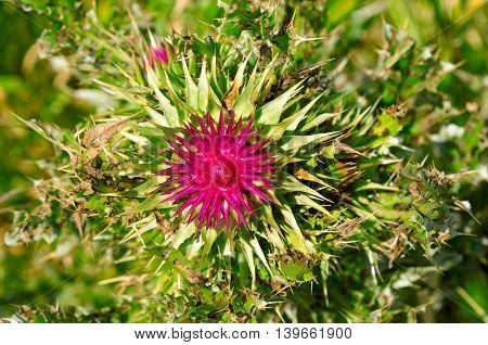 thistle flower and grass on blurred green background