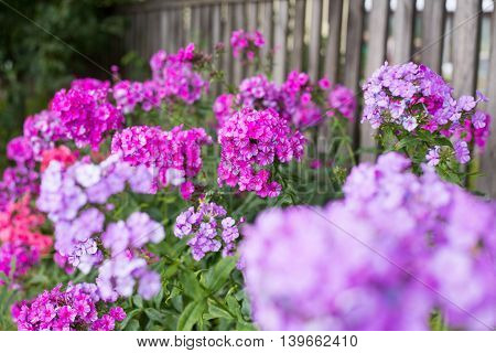 phloxes, bloom, flora, plant, blossom, bright, natural, attractive
