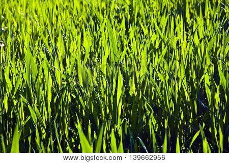 Harmonic Structure Of Green Corn