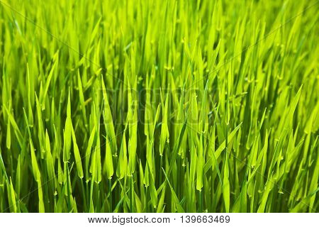 background of fresh green grass on a meadow