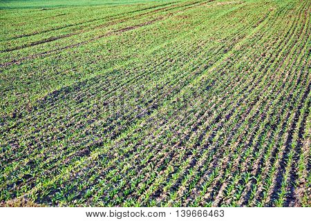 Background of newly plowed field with green plants