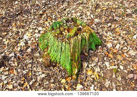 Stump Of Tree With Moss