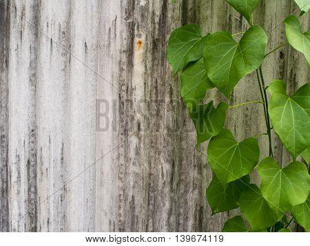 Ivy leaf shaped like heart on corrugated tile fence