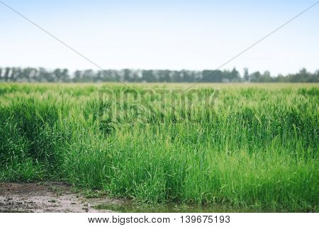 Wheat crops field after the rain