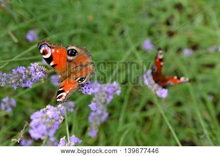 Butterflys on violet lavender flower. Shallow depth of field.