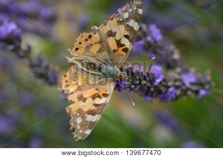 Butterfly on violet lavender flower. Shallow depth of field.