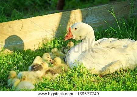 goslings with their goose on the grass in the village