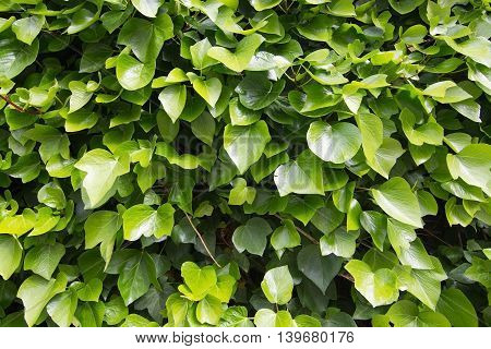 Green vine foliage abstract background wall texture with copy space.