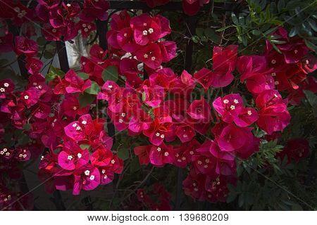Red Bougainvillea Flowers