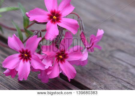 Creeping phlox subulata flowers on wooden board