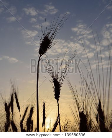 Wheat spikes isolated at sunrise in early summer