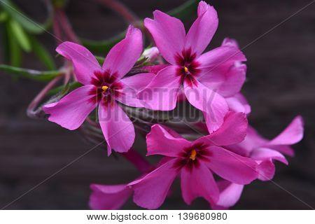 Creeping purple  phlox subulata flowers on the dark background