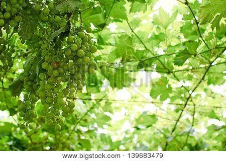 grapes ripening on the vine canopy typical Abruzzo