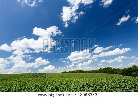 Field with young green sunflowers under cloudy sky