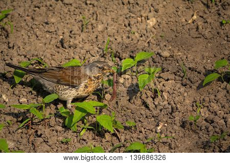 Thrush catch the worm sits on the ground. Birds