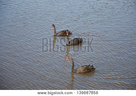 Three black swans with bright red beaks swimming in peaceful lake wetland waters in Western Australia.