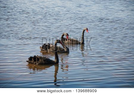 Three Australian black swans with bright red beaks swimming in peaceful lake water in Western Australia.