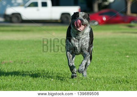 Mixed breed pit bull running with wide mouth and flapping tongue.