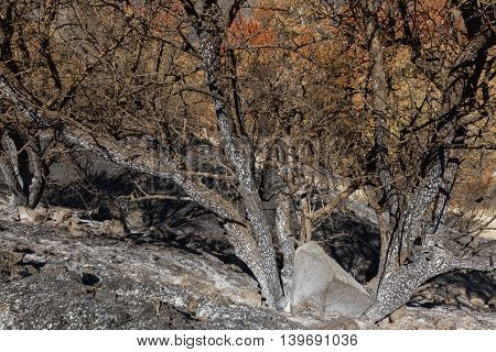 Burned Tree-branches Following A Forest Fire In Troodos,cyprus