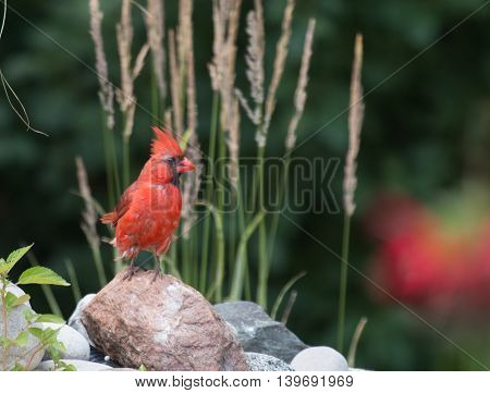 Juvenile cardinal standing on a rock at the edge of a pond